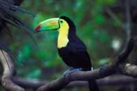 Tucan-in-Rainforest