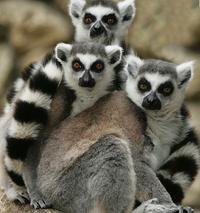 Madagascar-lemurs