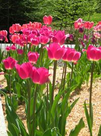 Vermont-tulips