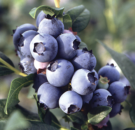Vermont-blueberry-festival