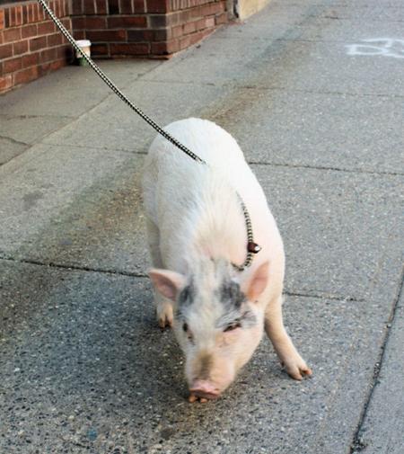 Brattleboro-pet-pig