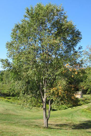 Cherry-wood-tree