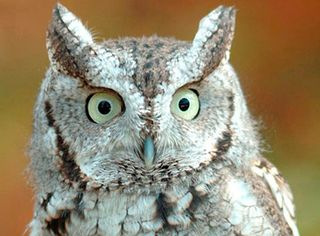Adopt_web_east_screech_owl_lp